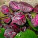 Púrpura Peruana - Photo (c) David Renoult, algunos derechos reservados (CC BY-NC)