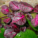 Bloodleaf - Photo (c) David Renoult, some rights reserved (CC BY-NC)