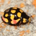 Sulfurous Lady Beetle - Photo (c) Alex Rebelo, some rights reserved (CC BY-NC)