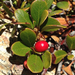 Bearberry - Photo (c) Damon Tighe, some rights reserved (CC BY-NC)