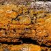 Villophora - Photo (c) aarongunnar, algunos derechos reservados (CC BY)
