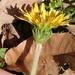 Taraxacum platycarpum - Photo (c) Hitoshi WATANABE 渡辺仁, osa oikeuksista pidätetään (CC BY-NC)