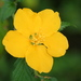 Kerria japonica - Photo (c) David Midgley,  זכויות יוצרים חלקיות (CC BY-NC-ND)