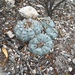 Peyote - Photo (c) gareis, some rights reserved (CC BY-NC)