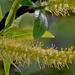 Salix caroliniana - Photo (c) Mary Keim, algunos derechos reservados (CC BY-NC-SA)
