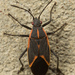 Eastern Boxelder Bug - Photo (c) klips, some rights reserved (CC BY-NC)