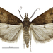 Eudonia asterisca - Photo (c) Landcare Research New Zealand Ltd., some rights reserved (CC BY)