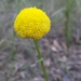 Craspedia variabilis - Photo (c) robertpergl, algunos derechos reservados (CC BY-NC)