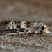 Tanaoctena pygmaeodes - Photo (c) Alan Melville,  זכויות יוצרים חלקיות (CC BY-NC-ND)