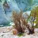 Lophurella hookeriana - Photo (c) Erasmo Macaya, μερικά δικαιώματα διατηρούνται (CC BY-NC)