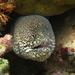 Gymnothorax pictus - Photo (c) Franca Wermuth, alguns direitos reservados (CC BY-NC)