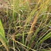 Saltmarsh Cord Grass - Photo (c) Sequoia Wrens, some rights reserved (CC BY-NC)