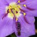 Leucopodella - Photo (c) Peter Hollinger, algunos derechos reservados (CC BY-NC)