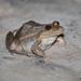 Leptodactylus paranaru - Photo (c) Norton Santos, algunos derechos reservados (CC BY-NC)
