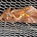 Chrysodeixis eriosoma - Photo (c) Victor W Fazio III, μερικά δικαιώματα διατηρούνται (CC BY-NC)