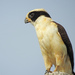 Laughing Falcon - Photo (c) johnmeikle, some rights reserved (CC BY-NC)