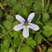 Lobelia pedunculata - Photo Ningún derecho reservado