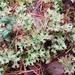Cetraria islandica - Photo (c) Juha Kinnunen, algunos derechos reservados (CC BY-NC)