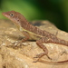Stripefoot Anole - Photo (c) Paul Tavares, some rights reserved (CC BY-NC)