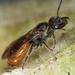 Lasioglossum ovaliceps - Photo ללא זכויות יוצרים