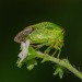Hadrophallus bubalus - Photo (c) bob15noble, alguns direitos reservados (CC BY-NC)