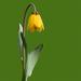 Fritillaria pudica - Photo (c) Lynette Schimming, algunos derechos reservados (CC BY-NC)