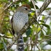 Rufous-capped Antshrike - Photo (c) fabiomanfredini, some rights reserved (CC BY-NC)