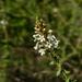Mulguraea aspera - Photo (c) Guillermo Debandi, algunos derechos reservados (CC BY-NC)