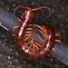 Scolopendra dehaani - Photo (c) ong-siau-kun, algunos derechos reservados (CC BY-NC)