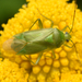 Lygocoris pabulinus - Photo (c) Rasmus Allesoee, algunos derechos reservados (CC BY-NC)
