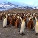 Pingüino Rey - Photo (c) Paul Steeves, algunos derechos reservados (CC BY-NC)