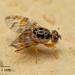 זבוב הפירות הים תיכוני - Photo ללא זכויות יוצרים