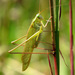 Fork-tailed Bush Katydid - Photo (c) David Hill, some rights reserved (CC BY)