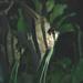 Pterophyllum - Photo (c) James St. John,  זכויות יוצרים חלקיות (CC BY)