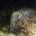 Calamar Pálido - Photo (c) Eric Heupel, algunos derechos reservados (CC BY-NC-ND)