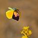 Mariposas Amarillas Y Azufres - Photo (c) Christian Schwarz, algunos derechos reservados (CC BY-NC)