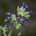 Undulated Bugloss - Photo (c) Eleftherios Katsillis, some rights reserved (CC BY)