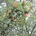 Injerto de Huizache - Photo (c) Alberto, algunos derechos reservados (CC BY-NC-ND)