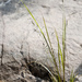 Coleataenia rigidula rigidula - Photo (c) Samuel Brinker, algunos derechos reservados (CC BY-NC)