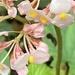 Begonia involucrata - Photo (c) rea_orthner, algunos derechos reservados (CC BY-NC)