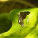 Omalonyx unguis - Photo (c) Eduardo Nadal, algunos derechos reservados (CC BY-NC)