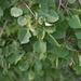 Populus tremuloides - Photo (c) Joseph Kurtz,  זכויות יוצרים חלקיות (CC BY-NC)