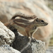 Harris' Antelope Squirrel - Photo (c) Jason Dombroskie, some rights reserved (CC BY-NC)