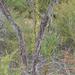 Drosera eremaea - Photo (c) Keir Morse, osa oikeuksista pidätetään (CC BY-NC-ND)