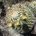 Mammillaria karwinskiana karwinskiana - Photo (c) César Luis, algunos derechos reservados (CC BY-NC)