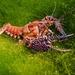 Procambarus spiculifer - Photo (c) Phil's 1stPix, algunos derechos reservados (CC BY-NC)