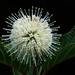 Cephalanthus tetrandra - Photo (c) 葉子, osa oikeuksista pidätetään (CC BY-NC-ND)
