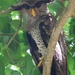 Barred Eagle-Owl - Photo (c) Tan Kok Hui, some rights reserved (CC BY-NC)