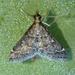Steniodes declivalis - Photo (c) Mark Brown,  זכויות יוצרים חלקיות (CC BY-NC)