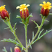 Dogweed - Photo (c) Samuel Brinker, some rights reserved (CC BY-NC)